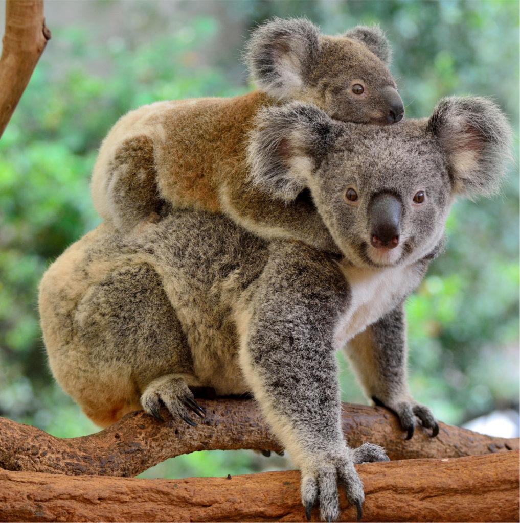 Koala Microbiome